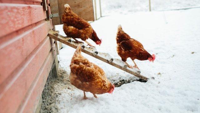 Курочки вышли на зимнюю прогулку