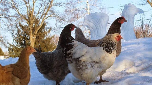Квочки гуляют в солнечную зимнюю погоду