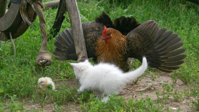 Мама-курица защищает своих деток от котёнка
