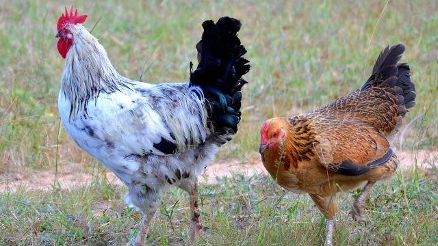 Петух гуляет с молодой курицей