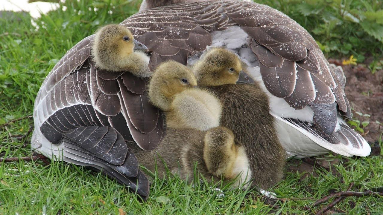 Гусята под крылом матери