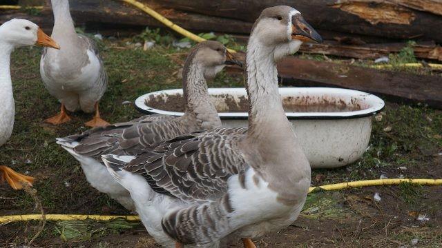 Серые Кубанские гуси