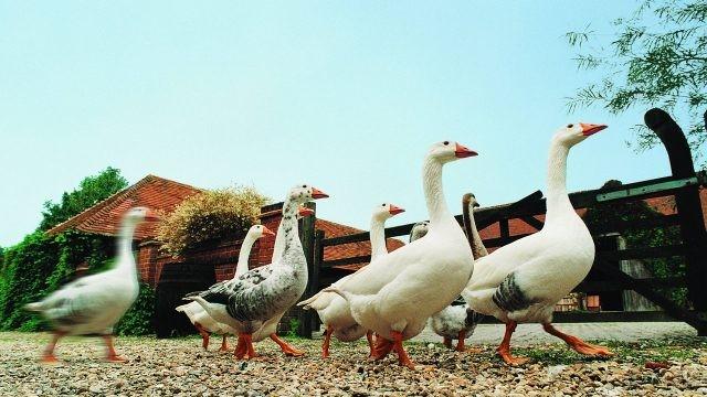 Стая Адлерских гусей