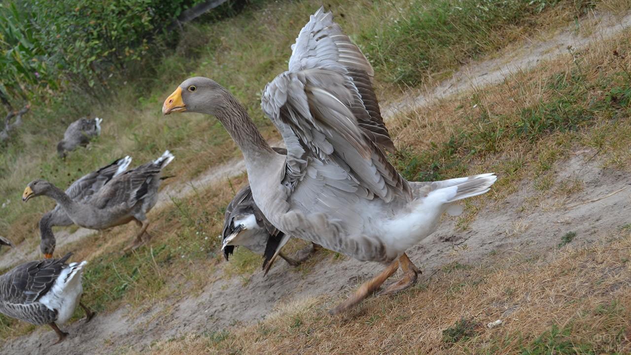 Тульский гусь с расправленными крыльями