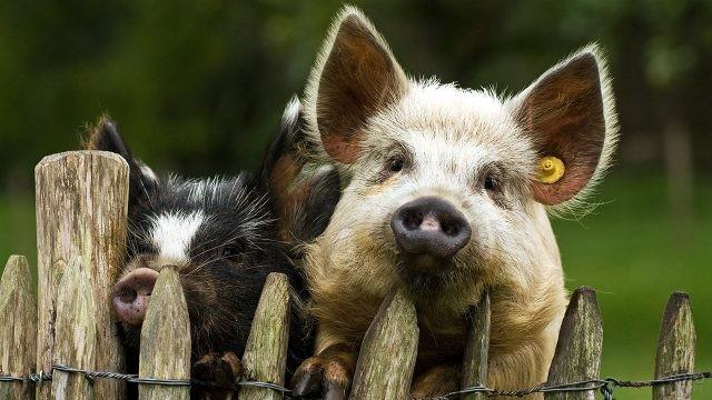 Любопытные жесткошёрстные свинки выглядывают из-за забора