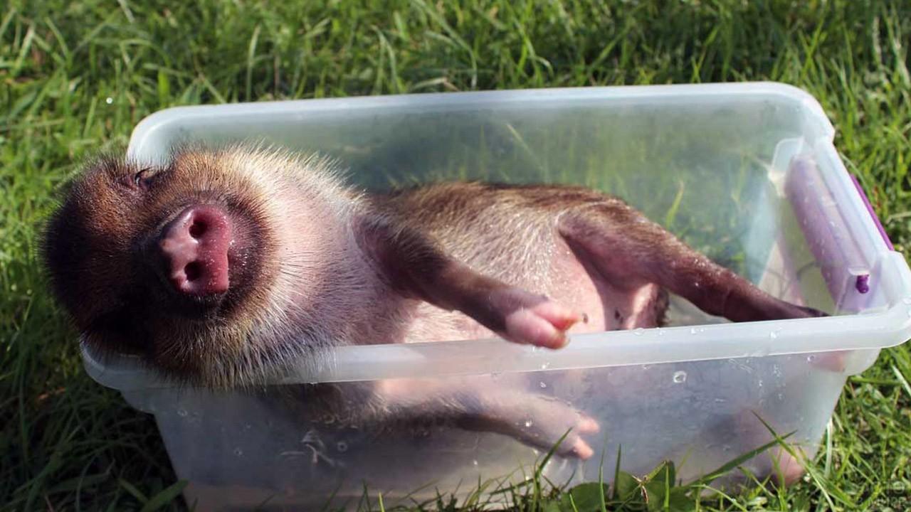 Мини-пиг купается в пластиковом лотке