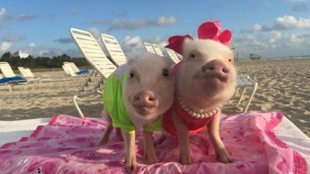 Модные хрюшки-подружки на пляже
