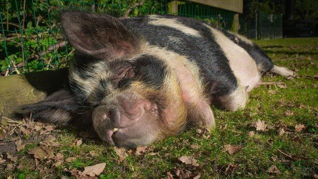 Счастливый хряк спит на ферме