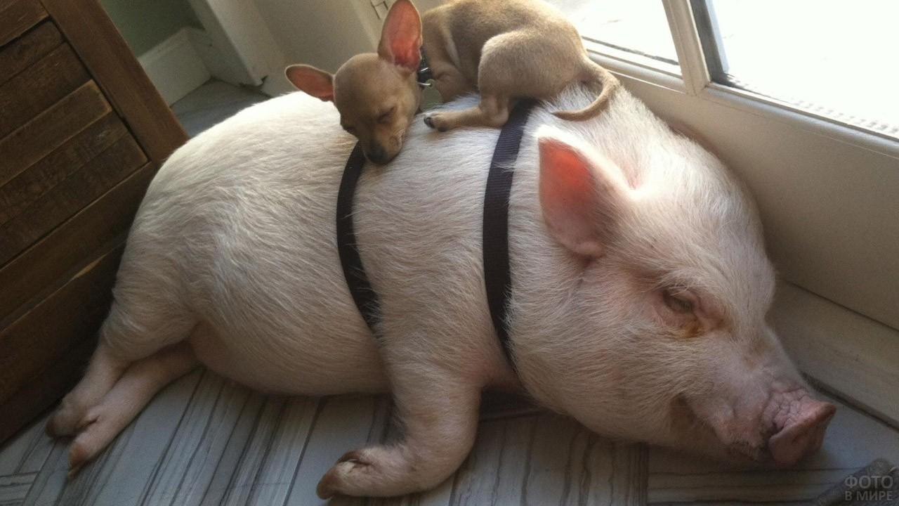 Собачка и поросёнок спят вповалку
