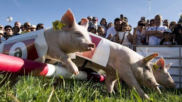 Старт гоночных свинок