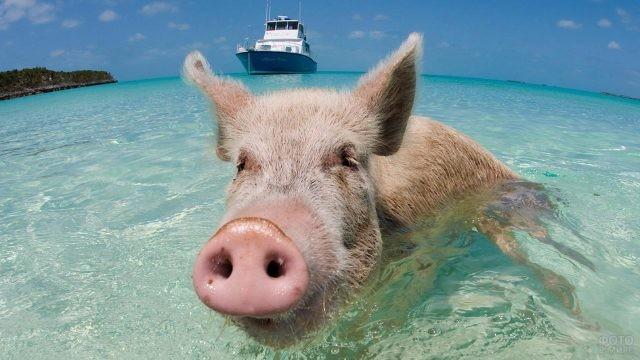 Свин в море на фоне яхты