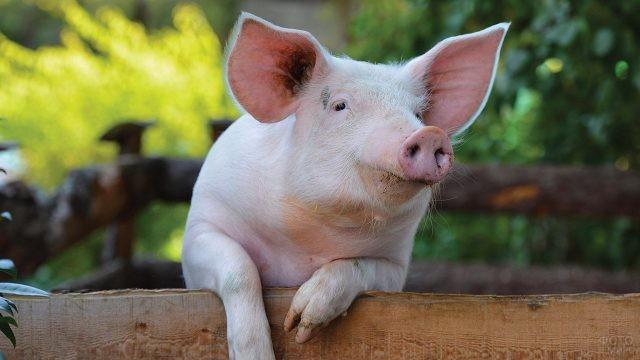 Свинья выглядывает из загона