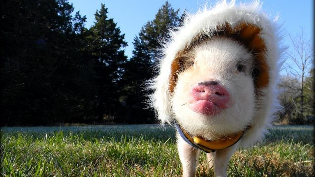 Свинка в тёплом капюшоне