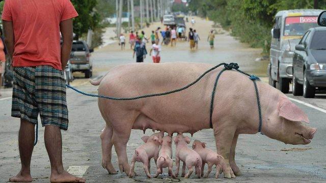 Свиноматка кормит малышей посреди дороги