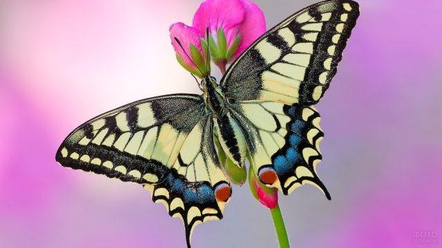 Белый махаон на розовом цветке