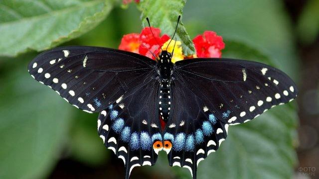 Чёрный махаон на цветке