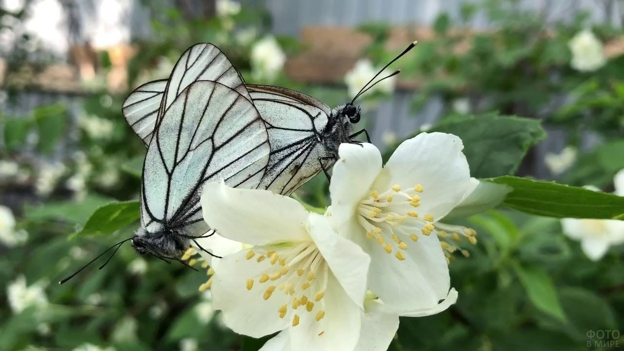 Две боярышницы на цветках