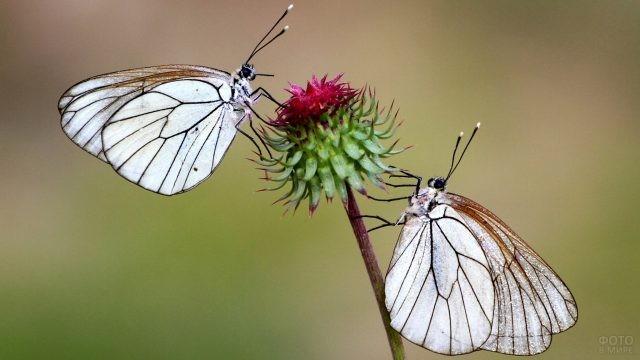 Две капустницы на цветке
