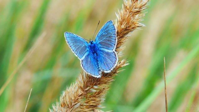 Голубянка на ростке пшеницы