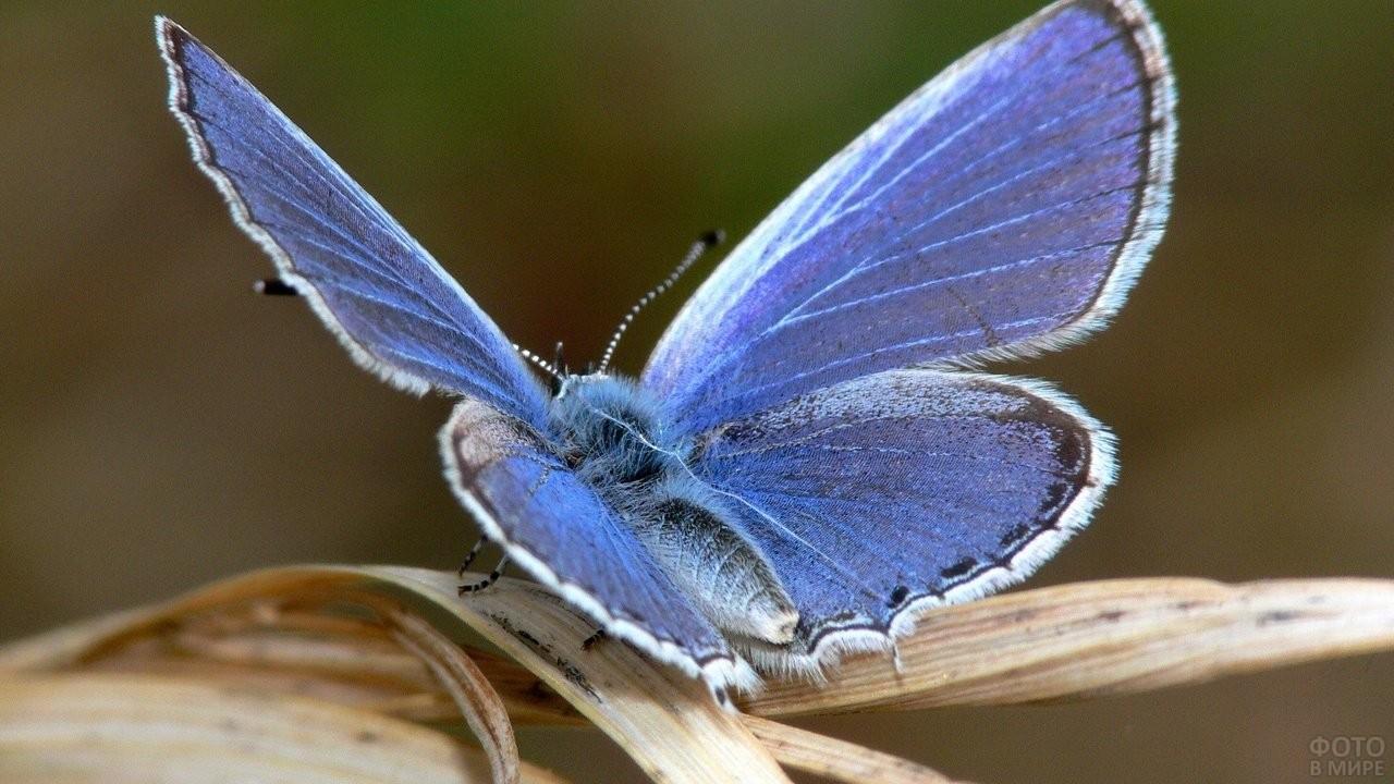 Голубянка на сухой травинке