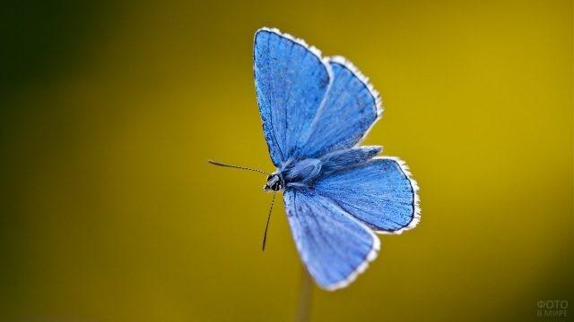 Голубянка в полёте