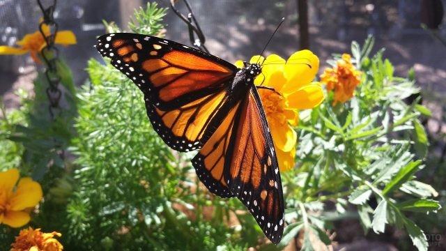 Монарх на жёлтом цветке