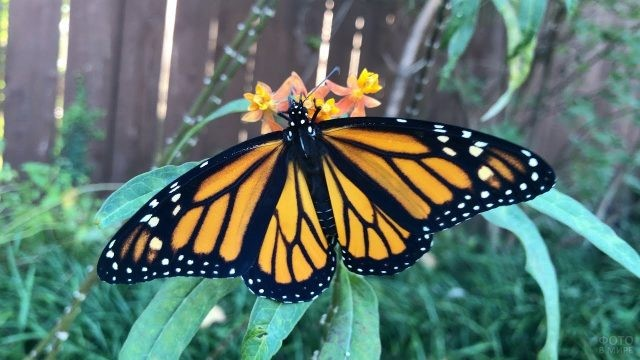 Монарх в траве