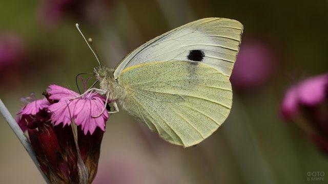 Репная белянка на розовом цветке