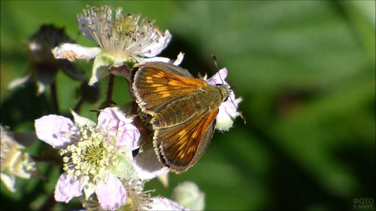 Толстоголовка на цветке