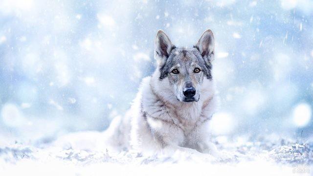 Чехословацкий волчак под снегопадом