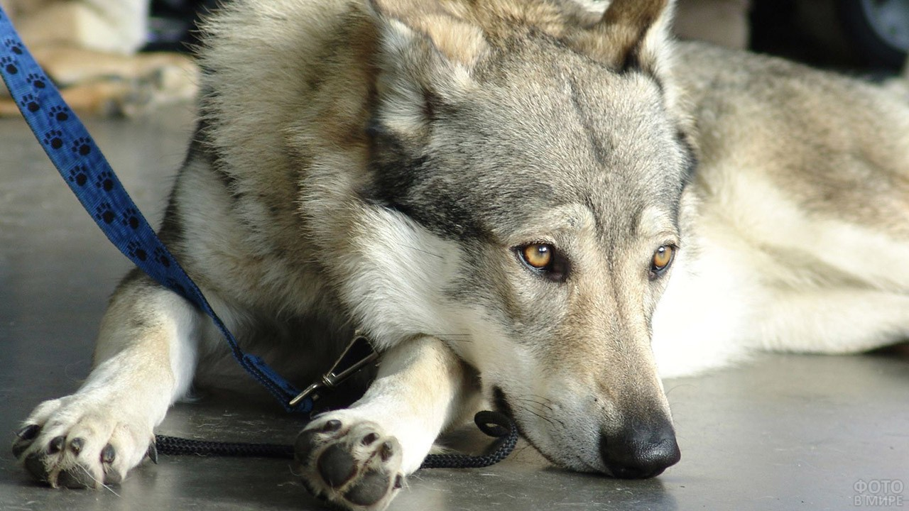 Чешский волчак положил голову на лапы