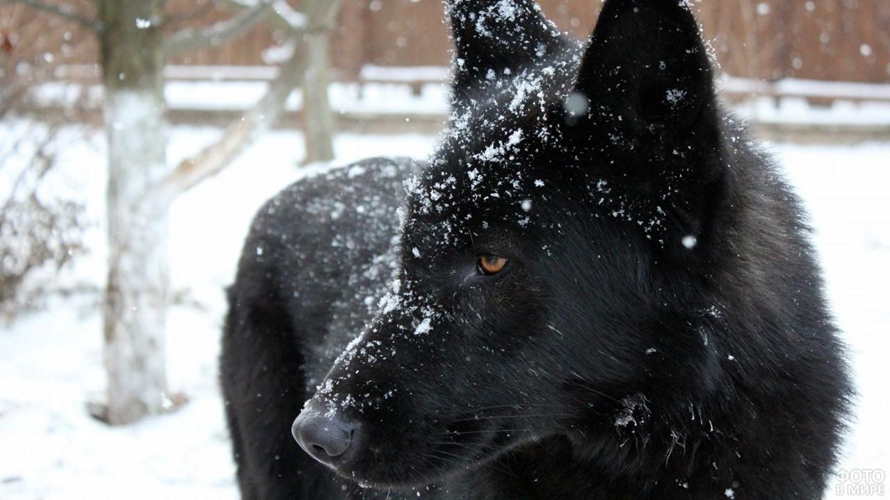 Чёрный волкособ под снегопадом