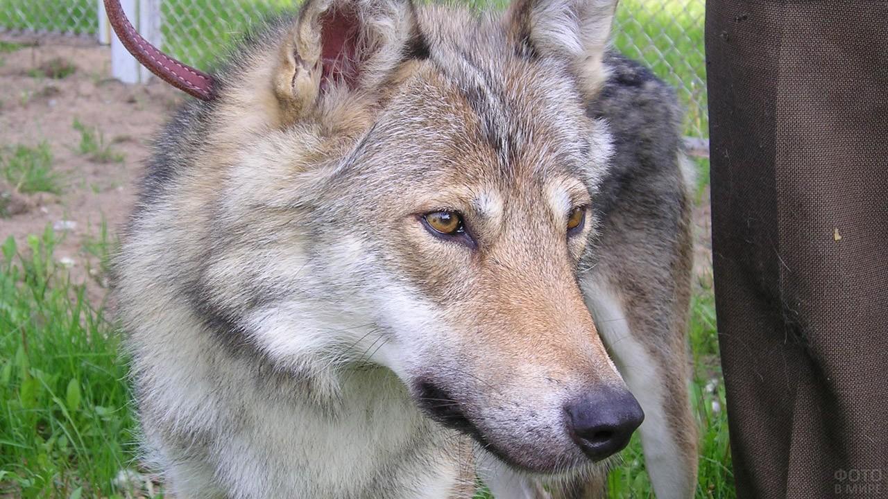 Гибрид овчарки и волка