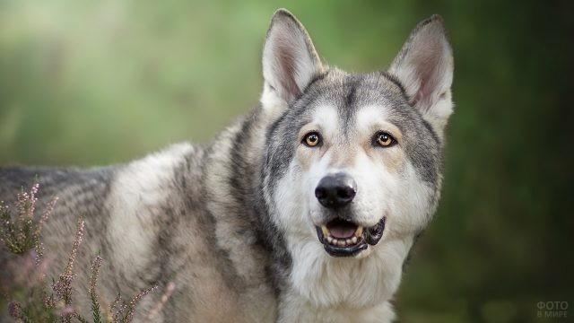 Гибрид волка и лайки