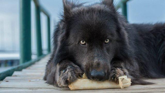 Голова чёрного Канадского волкособа
