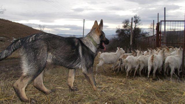 Канадский волкособ пасёт коз