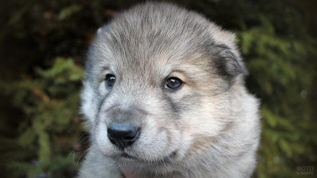 Маленький щенок волкособа