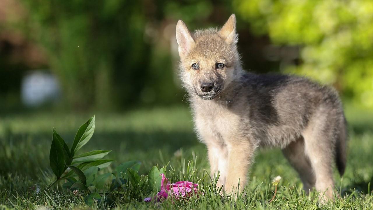 Маленький волкособ на лужайке