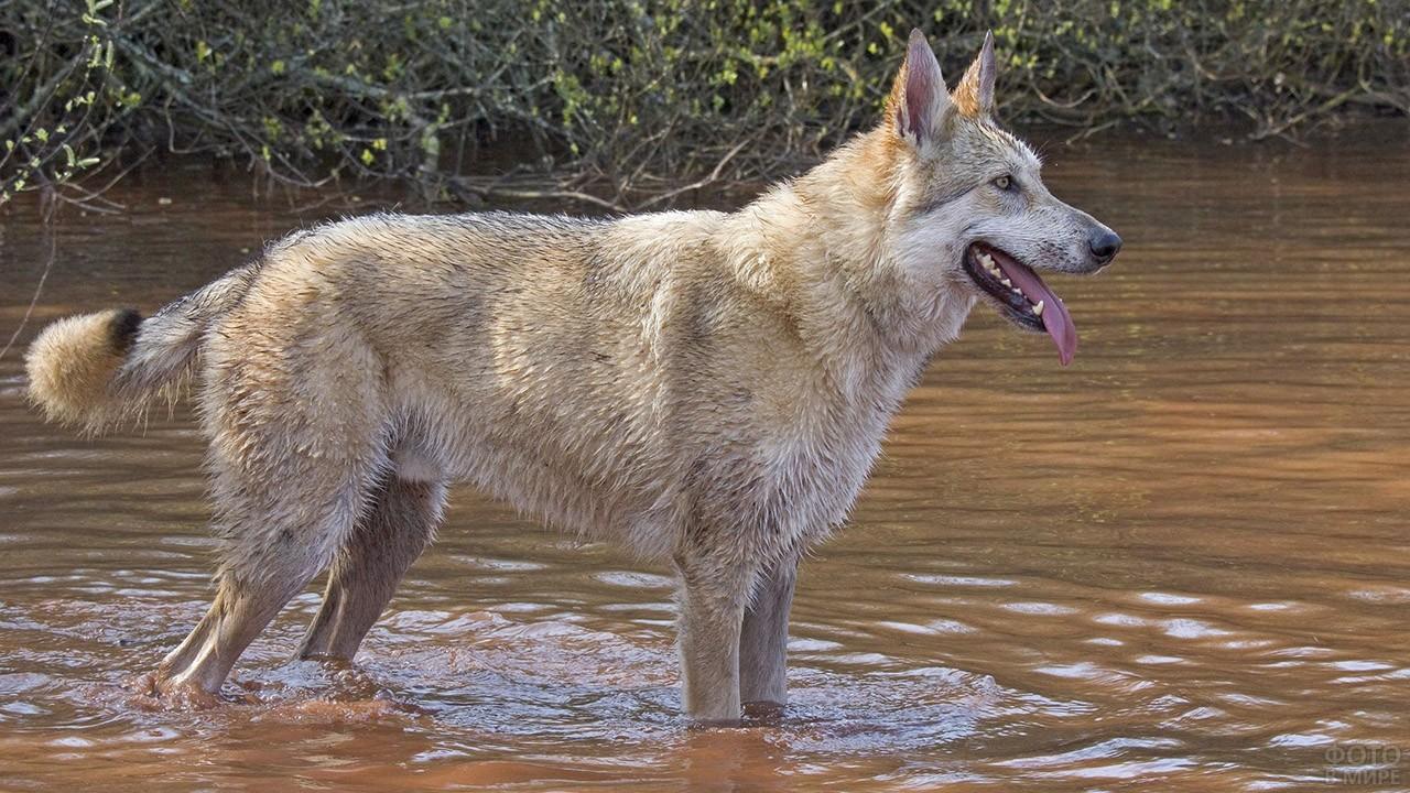 Метис волка и собаки в реке