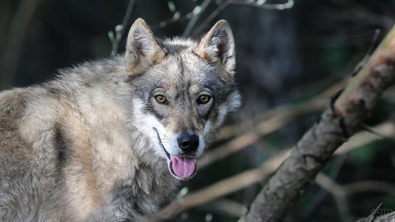 Милая улыбка волкособа