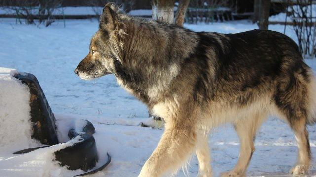 Мохнатый Восточносибирский волкособ
