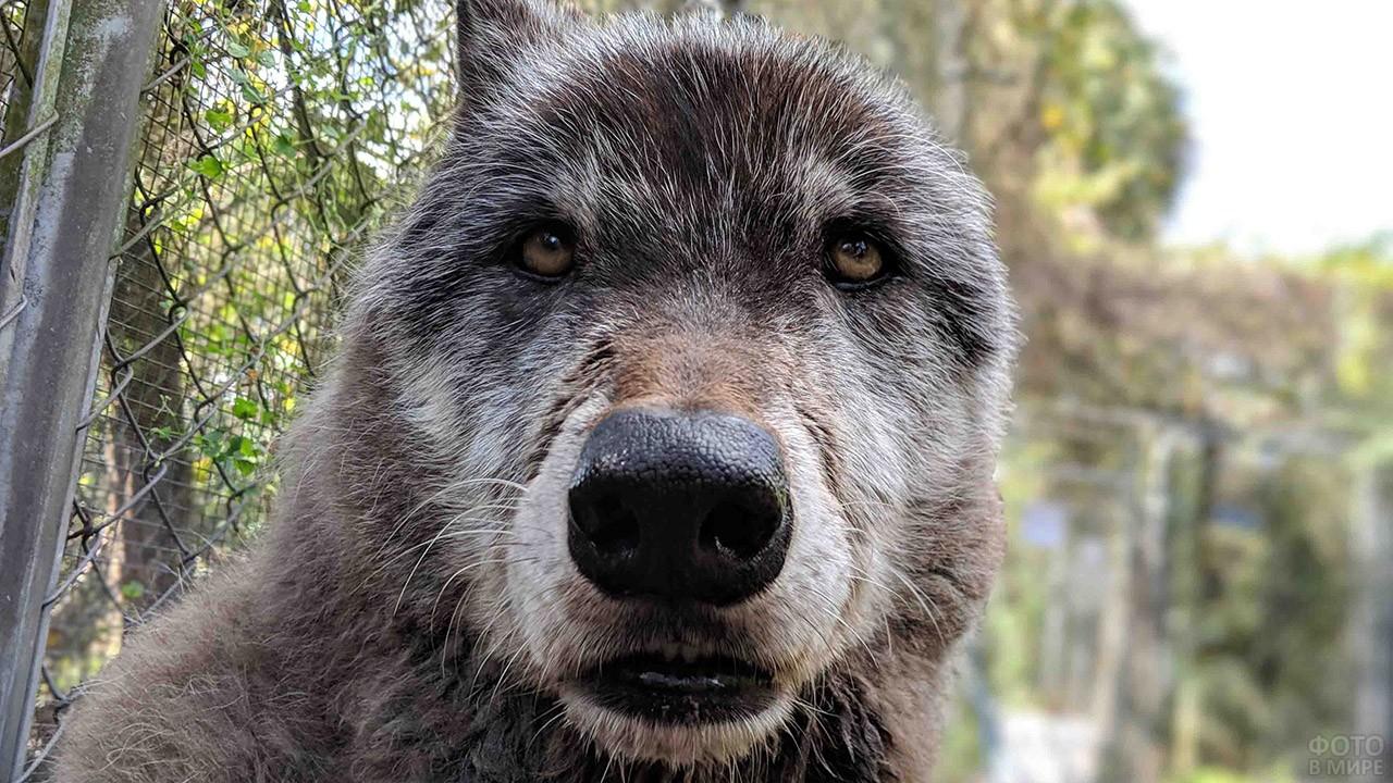 Морда крупного волкопса