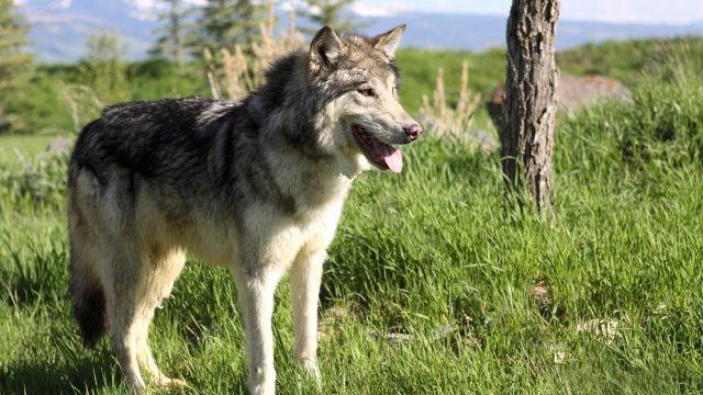 Помесь волка и немецкой овчарки