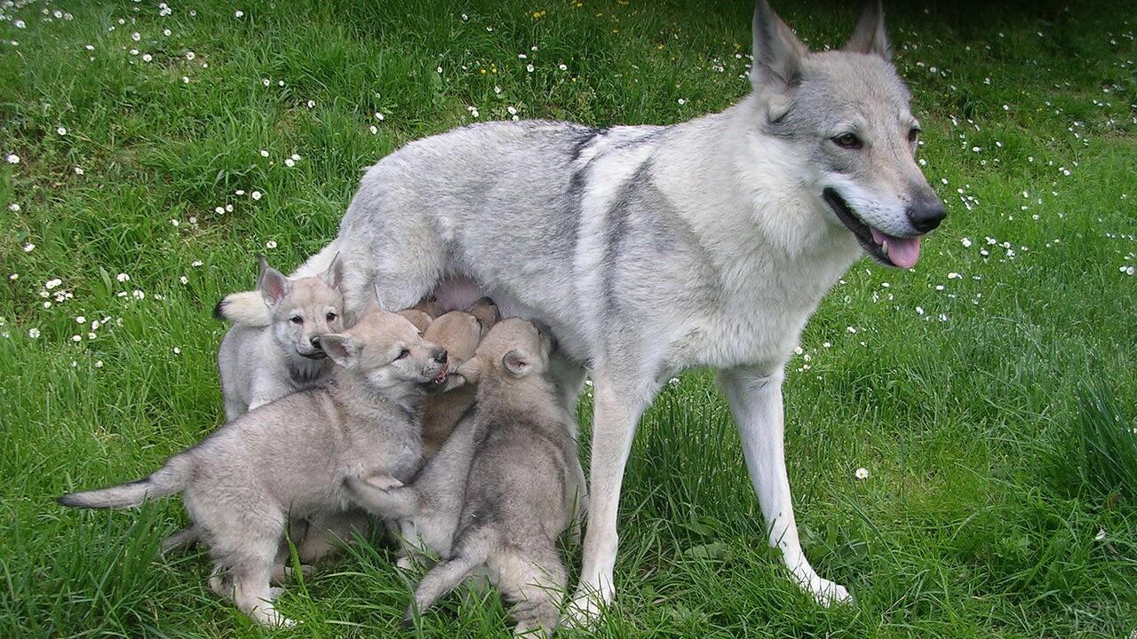 Самка волкособа с щенками