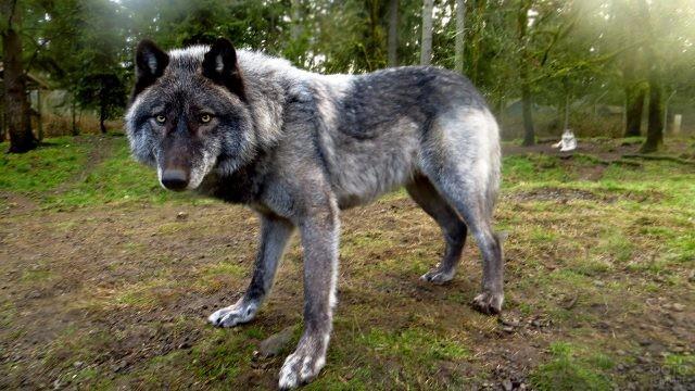 Серый волкособ в тёмном лесу
