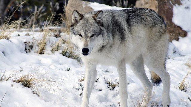Сибирский волкособ на снегу