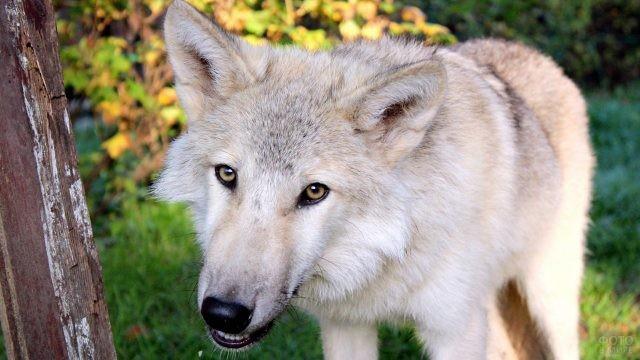 Светлый почти белый волкопёс