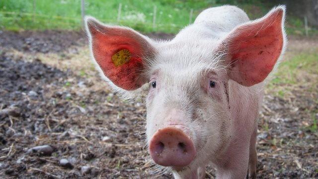 Чипированная лопоухая свинка
