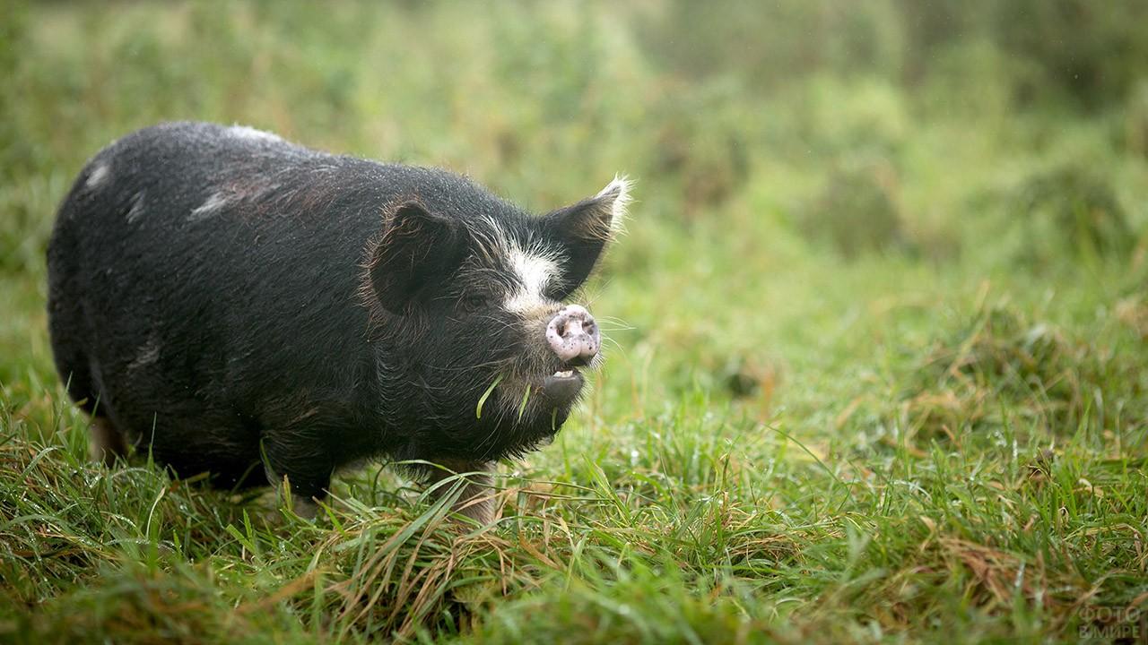 Чёрная свинья в летнем поле