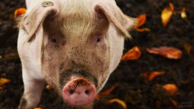 Чумазая морда свиньи